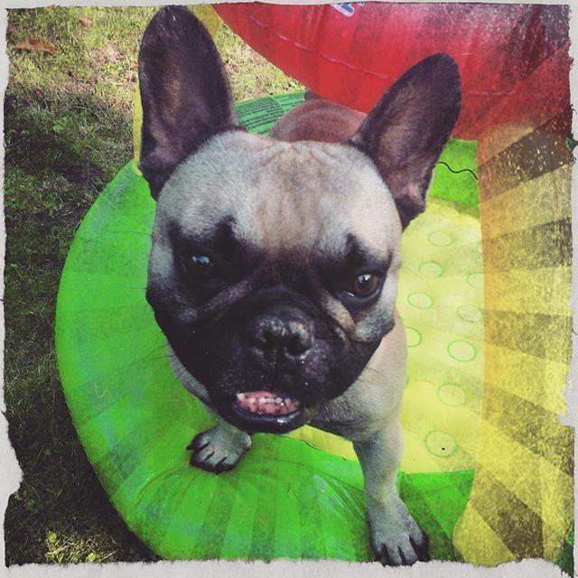 Instagram media jennifer_doernen - Enjoying the sun  #frenchbulldog #frenchbulldogs #frenchie #frenchies #bulldog #bulldogsofinstagram #dog #quentin #love #cute #bestoftheday #animal #summer #instadaily #like #instagood #bullove #sweetdog #frenchielove