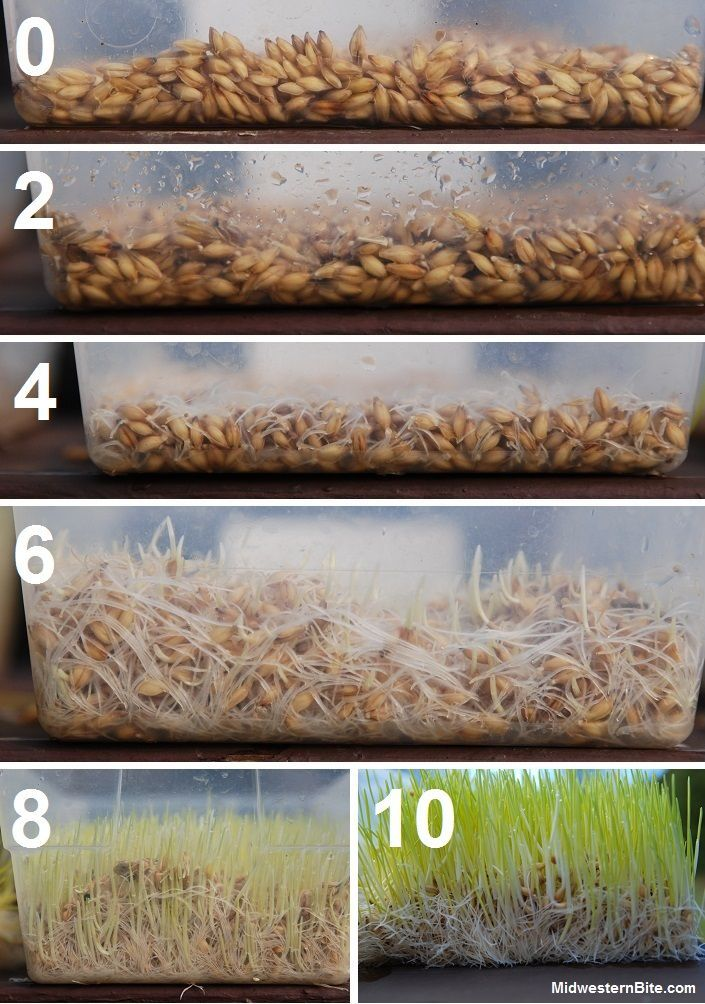 Grow Barley Fodder for chickens & rabbits – worth coming back to this blog, the guy is hilarious.