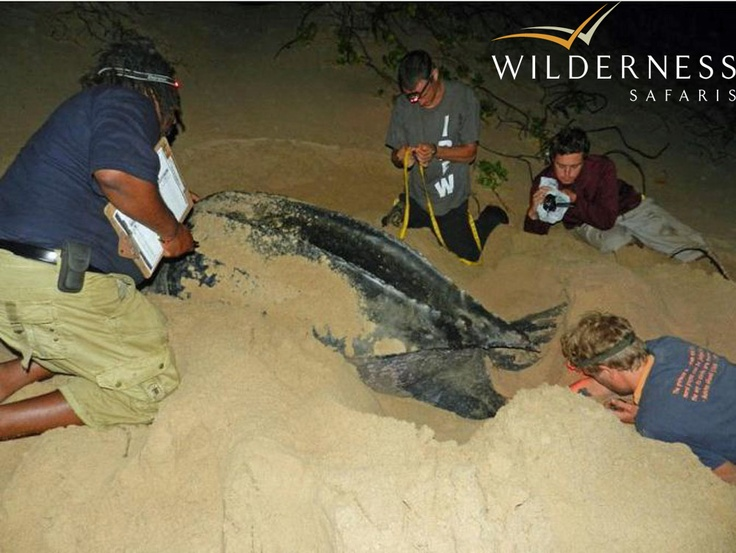Rocktail Beach Camp - October to March has loggerhead and leatherback turtles come ashore at night to lay their eggs. Research is carried out to improve the conservation of turtle species. #Tropical #Safari #Africa #SouthAfrica #WildernessSafaris