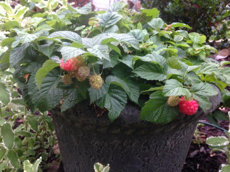 Brazelberries 174 Raspberry Shortcake Dwarf Thornless