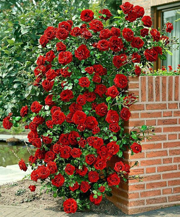 Climbing roses ♥