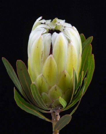 Protea White Pride