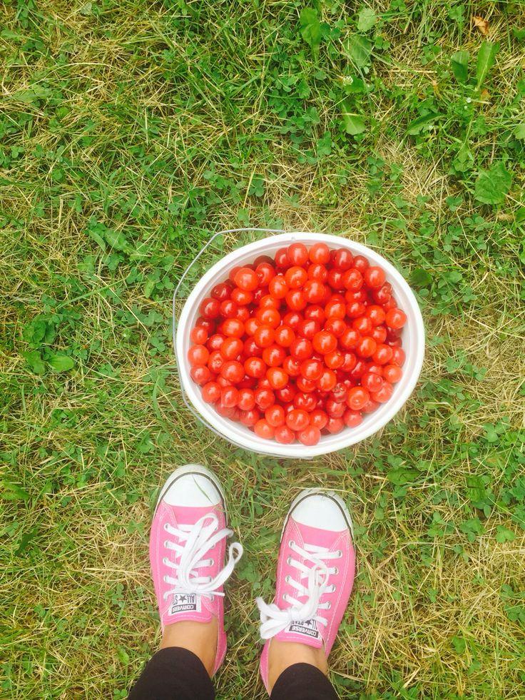 Tart cherrys