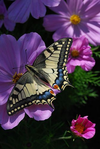Beautiful Butterfly and Cosmos