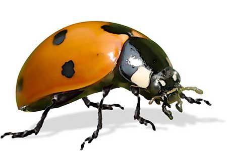 Ladybugs – Free Shipping - Planet Natural