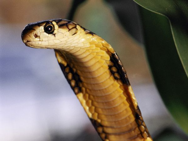 King cobras rarely attack humans, but one bite contains enough venom to bring down an elephant.