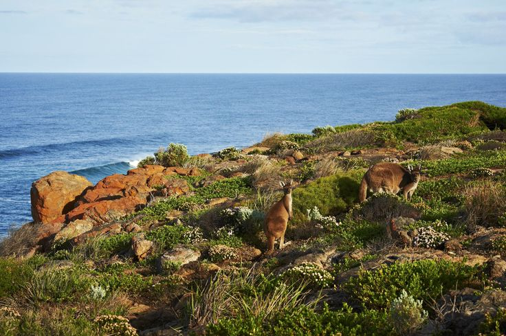 Curious #kangaroos on the #capetocape track. #walkintoluxury #seeaustralia #thisiswa #australiassouthwest