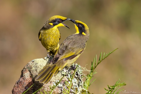 2 Yellow-Tuffted Honey Eaters photographed by Dude Paton Photography in West Nowra NSW Australia