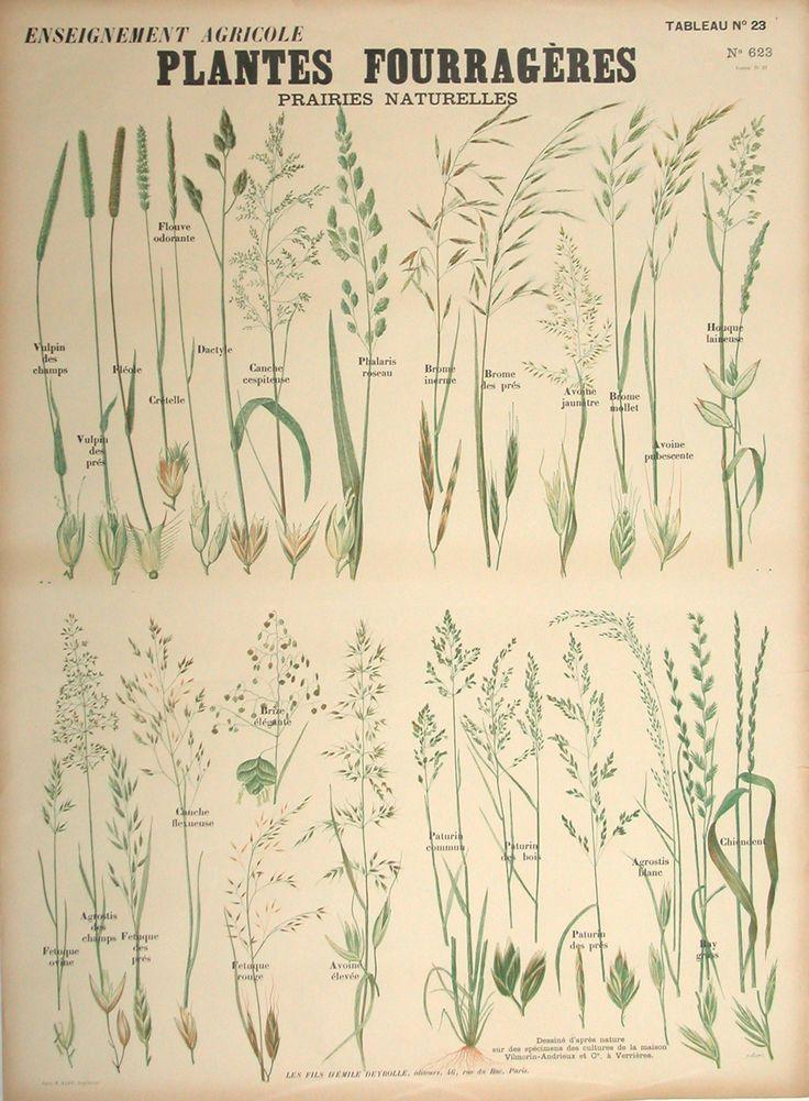Plantes fouragéres