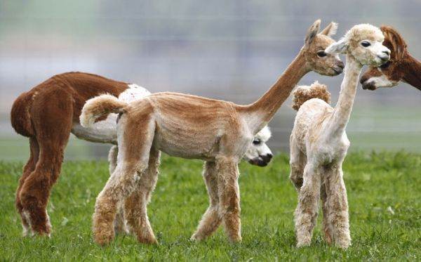 Freshly Shorn Alpacas Are So Cute! (Photo: Reuters/Michaela Rehle)