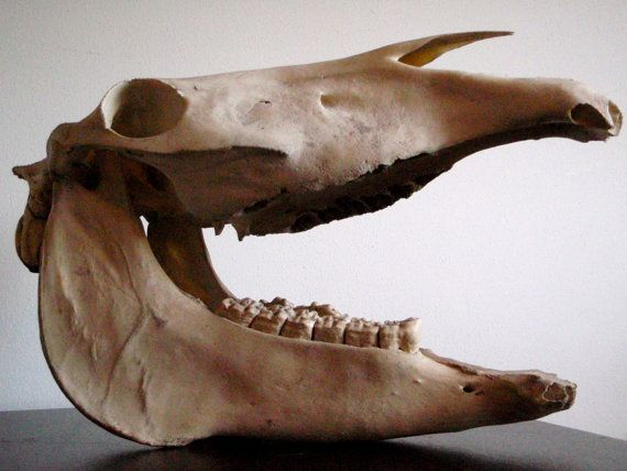 Horse Jaw Tattoo: Vintage Horse Skull Upper And Lower Jaw