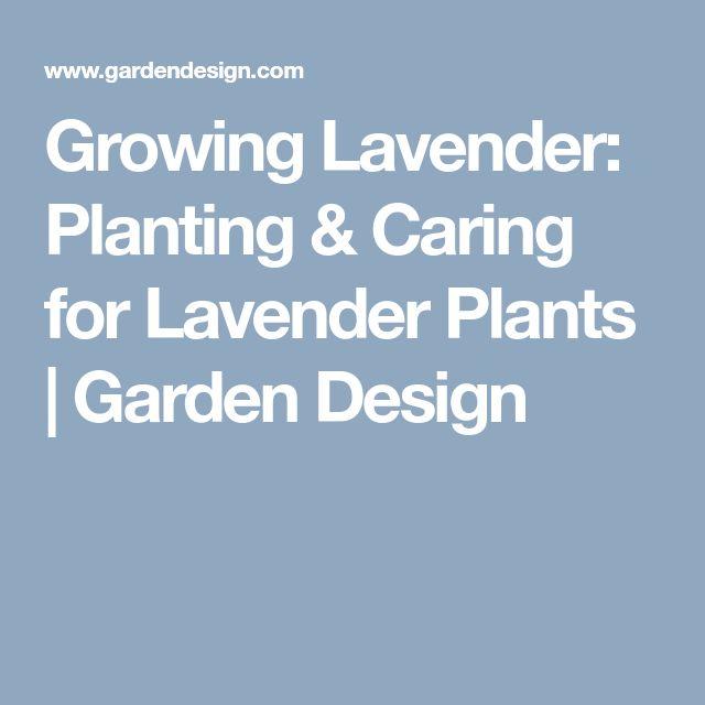 Growing Lavender: Planting & Caring for Lavender Plants  | Garden Design