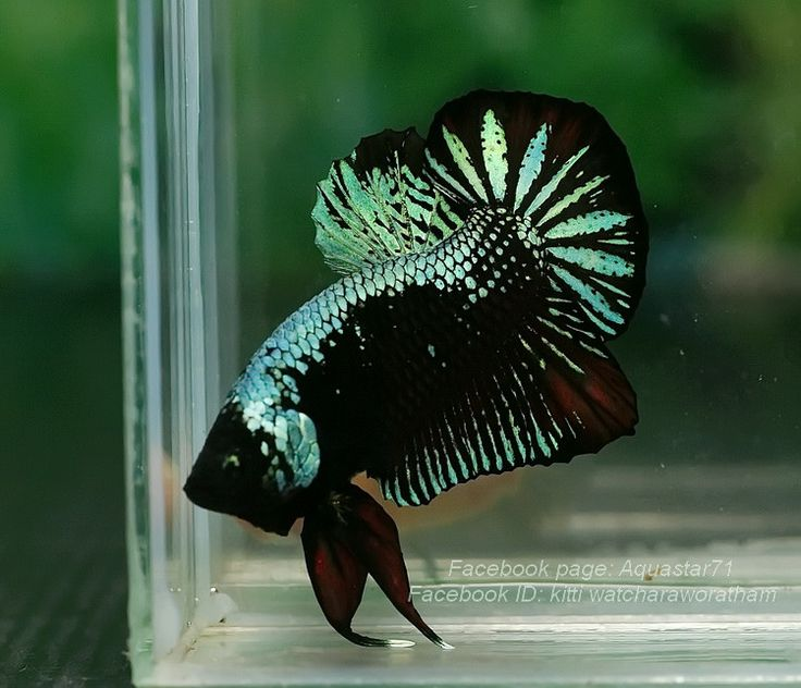617 best images about betta fish on pinterest copper for Betta fish size