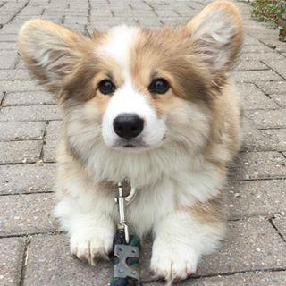 Jeder weiß, dass alle Hunde in den Himmel kommen, aber wo KOMMEN Hunde eigentlich her? Nun, die meisten Hunde stammen von anderen Hunden … | 23 Beweise, dass flauschige Corgis ein Geschenk des Hundehimmels sind