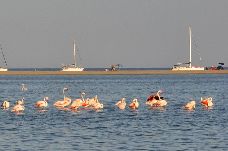Especially in the southern and central part of the Island is easy to see wild pink flamingos. They stop in these areas, during their migrations between Tunis and Camargue.  In the Molentargius pond (Cagliari) and in the ponds in the Oristano area live several colonies of flamingos and they can be seen during the summer and the winter.