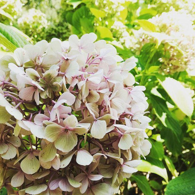 F l o w e r s 🌱  .  .  .  #summer #hydrangea #ortansia #flower #flowers #flowergram #flowerpower #nature #flowerlover #stylegram #styleblogger #fashiondiaries #fashiongram #fashionstyle #blogging #inspo #igers #instagood #instamood #photooftheday #pic #details #trend #fashionista #instalike #girlboss #travel #bloggerlife #blogger #zkstyle