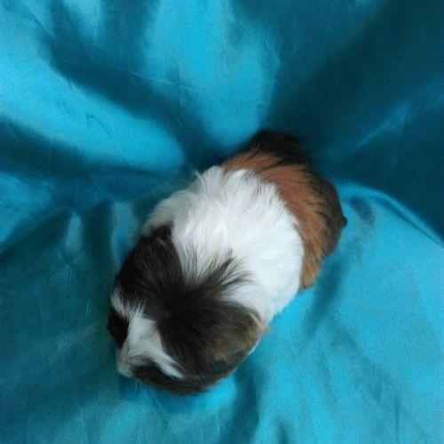Guinea Pig Coronet Safkan www.guineapigcim.com Ücretli sahiplendirilecek yavrumuz ve diğer yavrularımız için sitemize bekleriz. www.guineapigcim.com - 05379860642