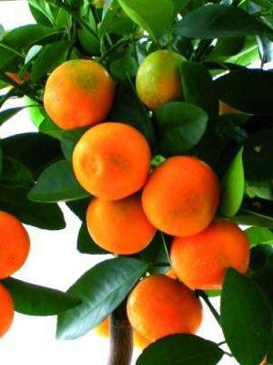 Satsuma Tangerine Trees