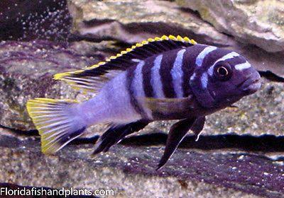 Four Fish Colony, Labidochromis sp.