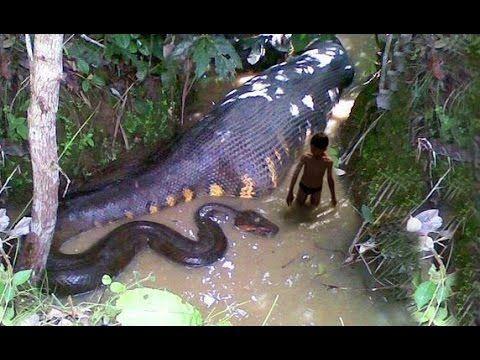 Shocking Giant Snake Attacks // Giant Anaconda Attacks Human Caught on C...