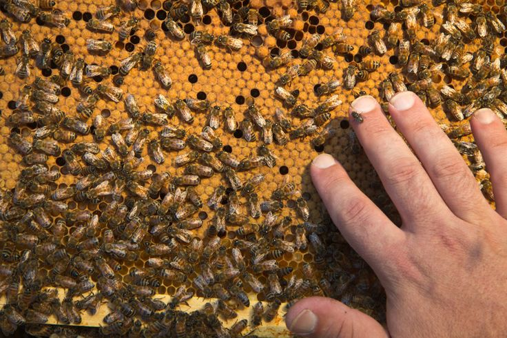 Ορεινή Μέλισσα: Τι κάνουμε με το σφραγισμένο μέλι: Πως μπορούν να ταΐσουν τον γόνο και να έχουμε ανάπτυξη;