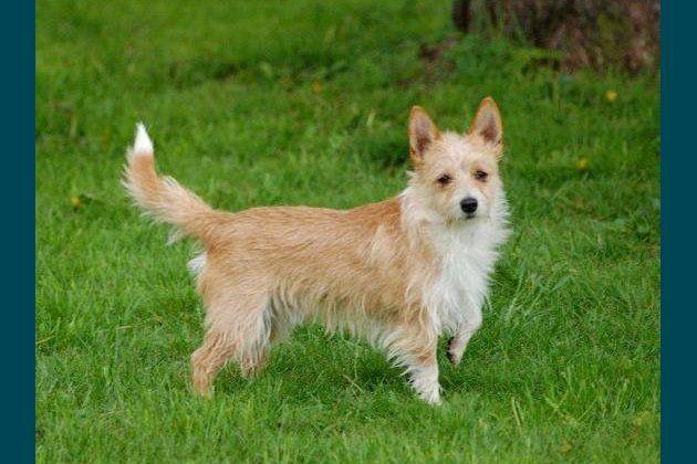 cachorro incomum - Podengo Português Pequeno