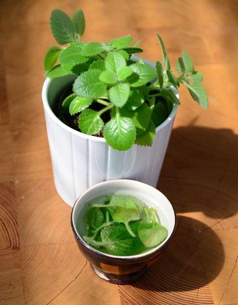 Rýmovník (Plectranthus amboinicus) je léčivá rostlina, kterou lze pěstovat jako běžnou pokojovkua a v létě jako balkonovku. Její vzhled je poněkud nekompaktní a musí se často zastřihovat. Ovšem to je super, …