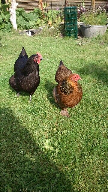 Two of my chickens.