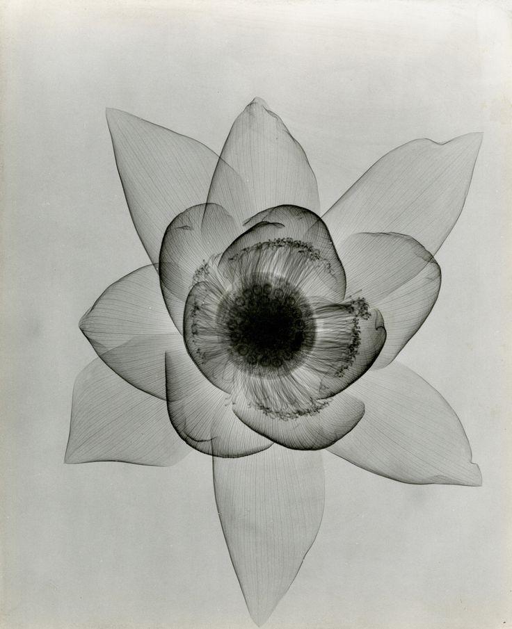 Tasker, Lotus An X-ray, c. 1930's