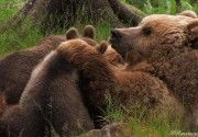 Muore l'orsa Daniza, oggi abbiamo perso tutti