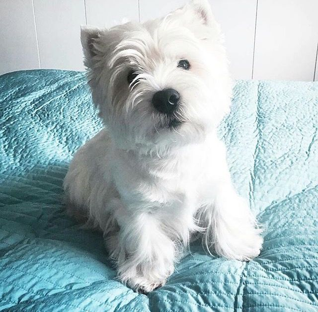 Westie Terrier Breeders – Quotes of the Day