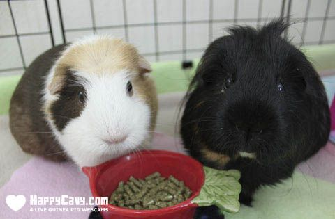 How to Identify and Understand Guinea Pig Sounds #guineapigs