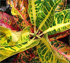 Container Gardening Tips, Indoor Gardening & Houseplants - Croton
