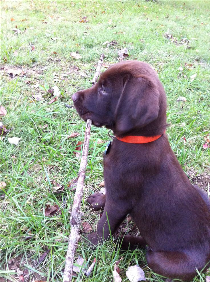 Chocolate lab puppy-- Gus :)
