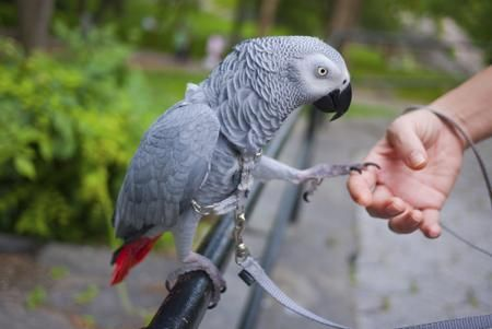 African grey parrot steps onto hand