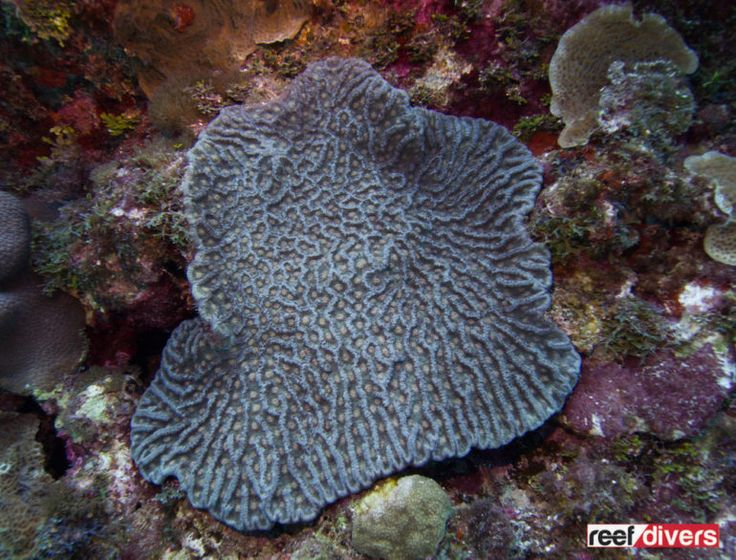 Caribbean Coral Diaries - Mycetophyllia ferox | reefdivers.io