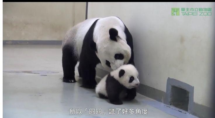 귀여운 새끼 아기 팬더 곰과 엄마 팬더 곰  Cute baby panda and mother panda , Taipei zoo https://youtu.be/YSNYfOOnTwo