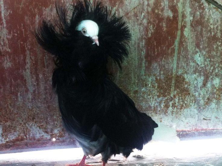jacobin pigeon - photo #2