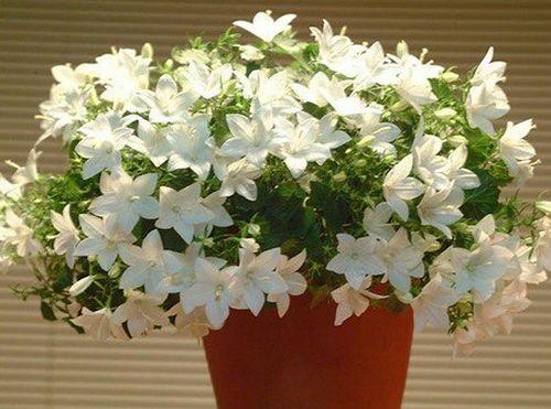 Кампанула — комнатный цветок жених и невеста
