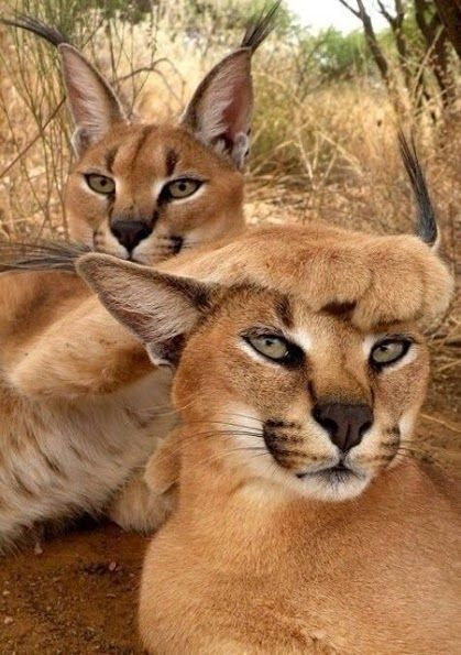 Caracals in the Kruger National Park, South Africa.