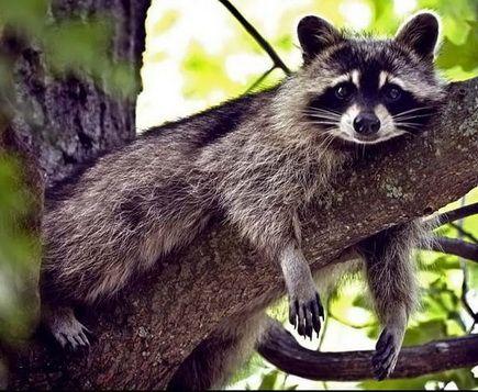 Raccoon!: Animal Allcreaturesgreat Smal, Beautiful Animal, Animal Kingdom, Hanging In There, Lazy Racoon, Favorite Animal, Animal Creatures, Adorable Animal, Art Racoon