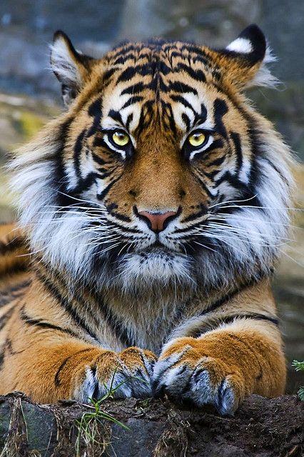 El tigre (Panthera tigris) Actualmente, las principales amenazas para el tigre son la caza furtiva, la disminución de presas debido a la caza y la pérdida de hábitat (Nowell y Jackson 1996). Otro problema es que además de perderse gran parte del territorio, el que hay se está fragmentando creando poblaciones aisladas, algunas tan pequeñas que se teme el deterioro genético. (Smith y McDougal 1991).