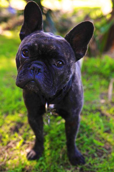 Diggy the French Bulldog. Pic Sarah Rowan Dahl.