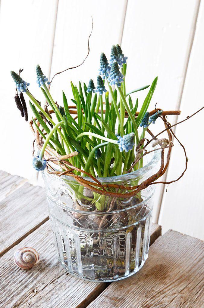 die besten 25 traubenhyazinthe ideen auf pinterest zwiebel pflanzen fr hlingsboten und. Black Bedroom Furniture Sets. Home Design Ideas