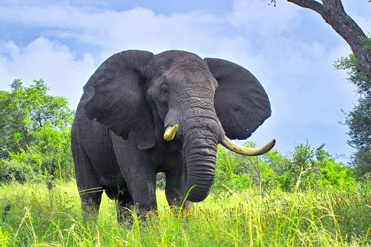 African elephant Getty images