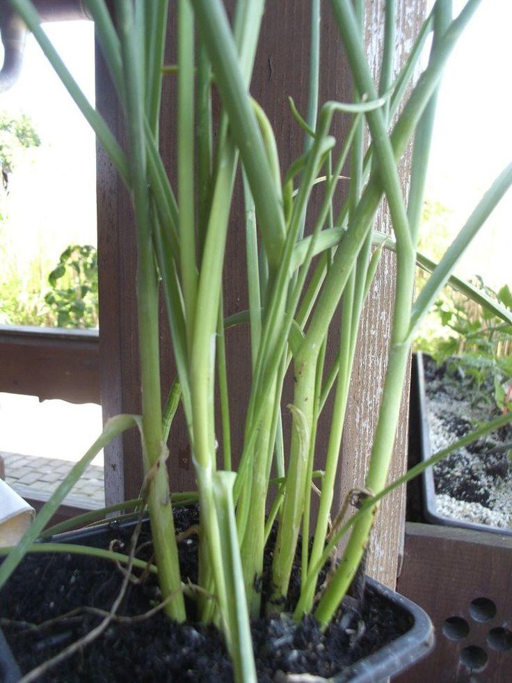 Ausdauernder Lauch Allium Species Pflanzenraritaten Aus Mecklenburg Vorpommern Pflanzen Lauch Gewachs