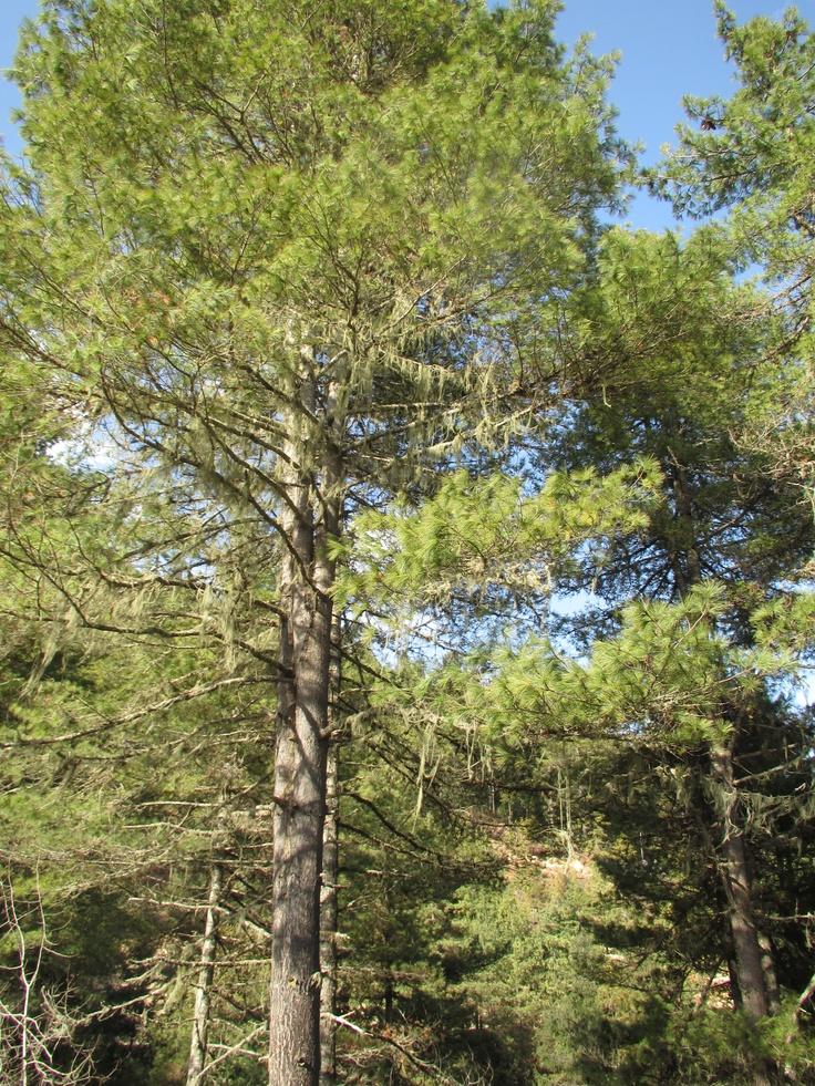 Vækster i træerne, som er meget følsomme for klimaforandringer, i følge Karma