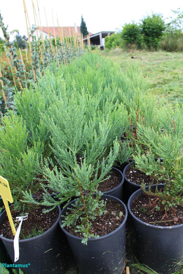 Sequoia gigantea. Plantas en maceta ya preparadas para su envío a cualquier punto de la península. http://www.plantamus.es/index.php?route=product/category=102_90_105=pd.name=ASC