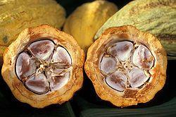 fèves de cacao dans leur cabosse