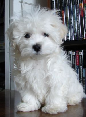 teacup maltipoo.... Like Saucey.... Except she has black fur, and she is bigger... :)